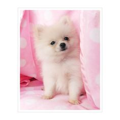 Pomeranian Puppy For Sale ❤ liked on Polyvore