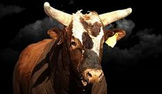 His name is Bushwacker, and no Cowboy has ever managed a complete ride with this champion bull!  Professional Bull Riders - Bulls