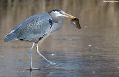 """Great Blue Heron with Prey by Max Waugh on 500px. """"A great blue heron walks off with a vole it nabbed out of the grass."""""""