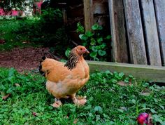 PROS AND CONS OF BACKYARD CHICKENS A huge amount of info in this article. Pros revolve around humane, public health, personal health, and environmental issues, but the truth is, raising chickens is not for everyone. An honest discussion of the pros and cons.