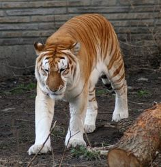 Golden Tabby Tiger also called the Strawberry Tiger. Only one is found i captivity and there are less than 30 of these tigers known in existence.