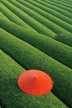 Fields of Tea, China
