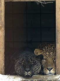 The jaglions have a jaguar father and a lion mother.  Bear Creek Sanctuary, Ontario, Canada.