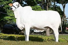 Vaca Nelore