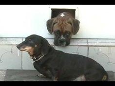 Old Dachshund showing funny dog trick .avi