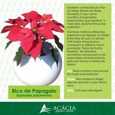 Bico de Papagaio ou Flor do Natal  Linda para esta época do ano. Você sabe como cuidar?