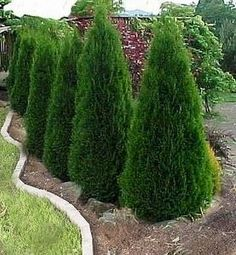How to Propagate Arborvitae   Time to continue the privacy plan