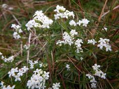 Have you been able to spot some of this pretty Heath Bedstraw whilst out on the Peak Moors?  Thanks again to Carl Hawke 13 June 2014.