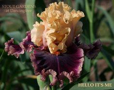hello it's me bearded iris
