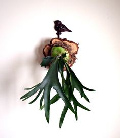 staghorn fern, mounted well.