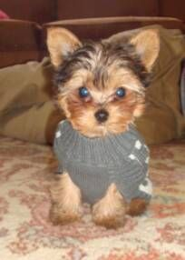 Yorkie puppy from Buckley's breeder!