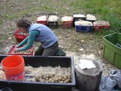 root cellar ... layering potatoes in sawdust for storage