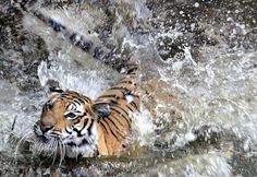 Tiger at Bandhavgarh National Park