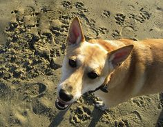 Daisy (Carolina Dog) at Crissy Field, San Francisco