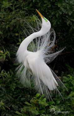 Great egret in breeding display   Betty Wiley on flickr