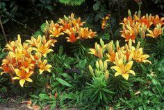 jardin, bulbiferum