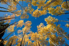 or, under which I'd like to lay looking up. I love Aspens. It means I'm at altitude. Crisp, clean air and white noise. Lots of white noise ... maybe a nap? Bear-free nap ...