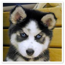 houses, anim, dogs, dreams, puppy face, siberian huskies, baby blues, baby puppies, eyes