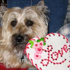 Zoe, my Cairn terrier, at Valentine's.