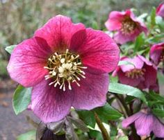 Christmas Rose - Helleborus