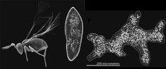 """""""Fairy wasps"""" are SMALLER than an AMOEBA!!  Holy """"Fantastic Voyage""""!  Check it out!"""