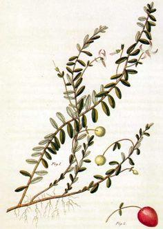 Picturing Plants and Flowers: William P. C. Barton: Vaccinium macrocarpon (cranberry)