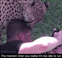Fun Fact: Cheetahs only hunt prey that runs. I guess there is no fun in killing a slow target when you're so fast. (gif)