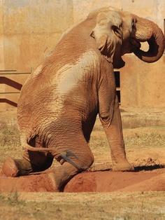 The Rare Brazilian Red Elephant... By Mondmann