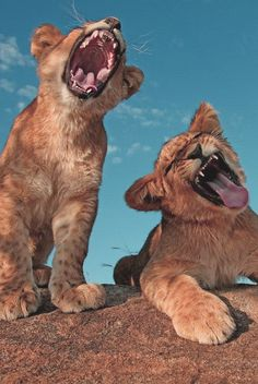 Lion Cubs Epic Yawn
