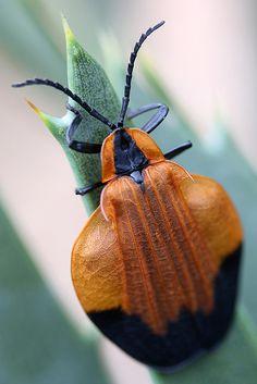 African heteroptera