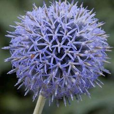 thisoldhouse.com | Small globe thistle easily grown in full sun.