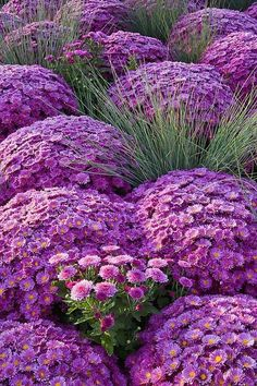 ~~Chrysanthemums And Chives ~ purple flower garden creates an eye-catching repetitive pattern