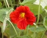 Nasturtiums Flower - helps with squash bugs?  Worth a shot!