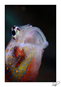 Goby fish (amblyeleotris)