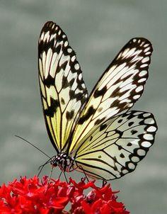fotos de mariposas de nuevo leon