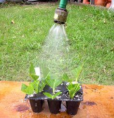 hydrangea propagation