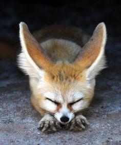 Fennec Fox! #animals #cute #fennec #fox
