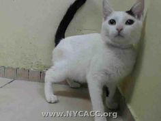 TO BE KILLED 10/13/14 @ NOON. NYC ACC: My name is MARIBEL ID # A1016120. I am a female white/black kitten, about 9 MOS old.I came in on 10/02/2014 from NY 10460. MARIBEL was most likely someone's beloved cat, who either became lost or was left behind-she's just so sweet! But she caught the sneezies and will die for it without your help! This sweet, funny little girl has her whole life ahead of her but needs you to live! Don't let ACC kill her! Step up and say 'YES! I WILL TAKE HER OUT OF THERE!