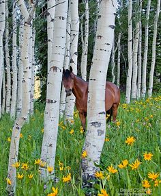 Horse in a field of wildflowers and aspen trees in the Uinta Mountains, Utah. Photo: David C. Schultz