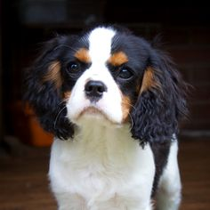 Cavalier Puppy Love - love that little face!