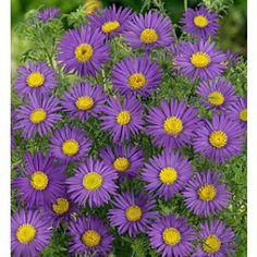 Prairie Aster prari aster, aster seed, outdoor, daisi, aster tanacetifolius, seeds, garden idea, prairi aster, sun