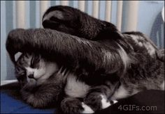 And like all intelligent creatures, sloths love cats.