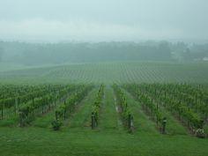 Hills of grapevines at Raffaldini's in NC
