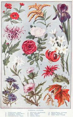 National Flowers ~ public domain image, 1917.