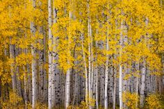 I love yellow leaves on trees