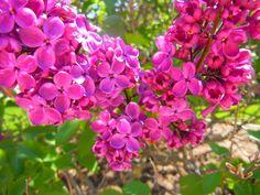 Mermaids of the Lake - Pink Lilacs