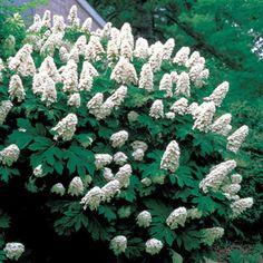 Snow Queen Hydrangea, an Oakleaf Hydrangea (Hydrangea quercifolia)
