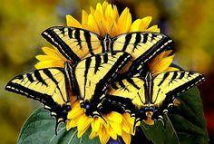 Trio of western tiger swallowtail butterflies.