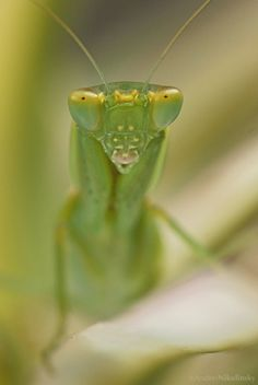clusterpod:  Garden Mantis, Orthodera ministralis. There are several in my front garden today.