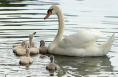Lake Eola swan cygnets. Orlando